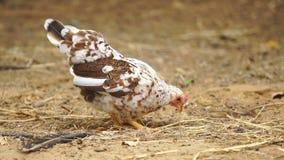 Pollo in azienda agricola video d archivio
