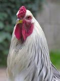 Pollo bianco Fotografia Stock
