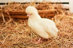 Pollo bianco Immagine Stock Libera da Diritti