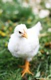 Pollo bianco Fotografie Stock