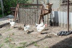 Pollo bianco che cammina sulla gabbia di pollo in primavera agricoltura ornitologia Iarda del pollame Fotografia Stock