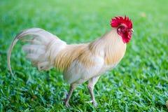 Pollo bianco che guarda fisso sull'erba Fotografia Stock