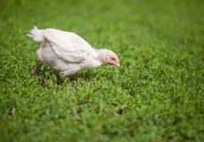 Pollo bianco della gamma libera che si alimenta nell'erba verde Immagine Stock