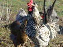Pollo in bianco e nero fotografia stock