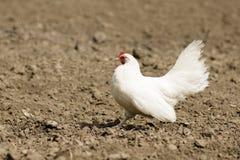 Pollo bianco su terra Fotografie Stock Libere da Diritti