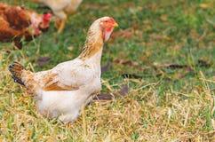 Pollo bianco sul pascolo asciutto di un'azienda agricola Immagine Stock Libera da Diritti