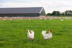 Pollo biológico fotografía de archivo