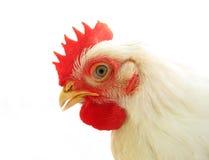 Pollo blanco Imágenes de archivo libres de regalías