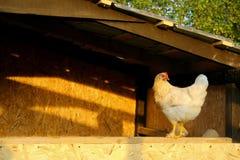 Pollo blanco Fotografía de archivo