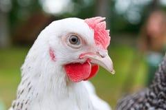 Pollo blanco Imagen de archivo