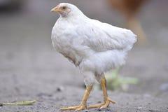 Pollo blanco Fotos de archivo libres de regalías
