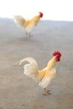 Pollo blanco amarillo Imágenes de archivo libres de regalías