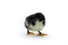 pollo Blanco-negro Fotos de archivo libres de regalías