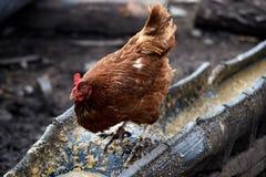 pollo casalingo Allevamento degli uccelli agricoltura Immagini Stock