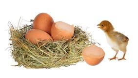 Pollo cerca de la jerarquía con los huevos en blanco Foto de archivo libre de regalías