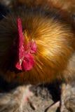 Pollo che affronta la macchina fotografica Immagini Stock