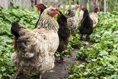 Pollo che cammina in natura Immagini Stock