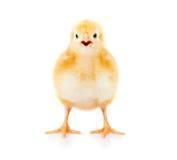 Pollo che cheeping Fotografie Stock Libere da Diritti