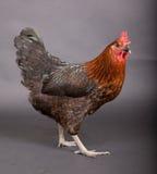 Pollo che lo esamina Fotografia Stock