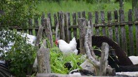 Pollo che mangia con le pecore stock footage