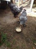 Pollo che mangia siero di latte Fotografia Stock