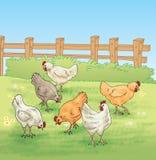 Pollo che si alimenta nell'azienda agricola Fotografia Stock