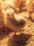 Pollo Chick Pose Fotos de archivo libres de regalías