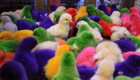 Pollo coloreado del bebé en el mercado de Padang