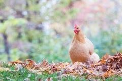 Pollo con bosque y hojas de otoño Imagen de archivo