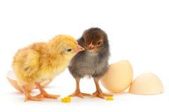 Pollo con eg. Fotos de archivo