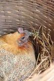 Pollo con el huevo Imágenes de archivo libres de regalías