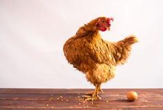 Pollo con el huevo foto de archivo