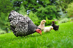 Pollo con i pulcini Immagini Stock