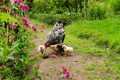 Pollo con i pulcini Fotografia Stock Libera da Diritti