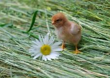 Pollo con il fiore Fotografia Stock Libera da Diritti