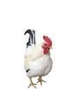 Pollo con il percorso di residuo della potatura meccanica Fotografia Stock Libera da Diritti