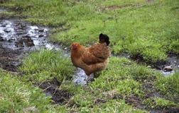Pollo con las plumas anaranjadas Fotografía de archivo