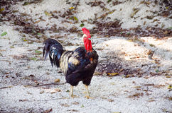 Pollo con las plumas de oro Gallo que camina al aire libre Imagen de archivo