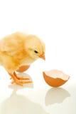 Pollo con le coperture rotte dell'uovo - isolate Immagine Stock Libera da Diritti