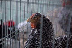 Pollo con lo sguardo sospettoso Immagini Stock Libere da Diritti