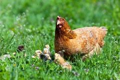 Pollo con los bebés Imagen de archivo