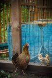 Pollo con los pollos en un prado Fotos de archivo
