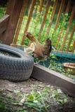 Pollo con los pollos en un prado Fotografía de archivo