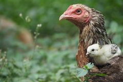 Pollo con los polluelos Foto de archivo