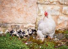 Pollo con los polluelos jovenes fotos de archivo
