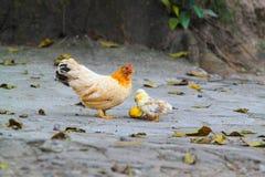 Pollo con sus polluelos del bebé Imagen de archivo
