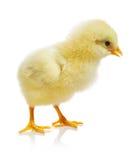 Pollo contra el fondo blanco Foto de archivo