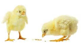 Pollo contro priorità bassa bianca immagini stock