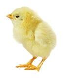Pollo contro priorità bassa bianca Fotografia Stock