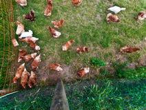 Pollo corrente libero Fotografie Stock Libere da Diritti